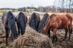 Horses eating hay. Some horses with their heads down eating hay royalty free stock photography