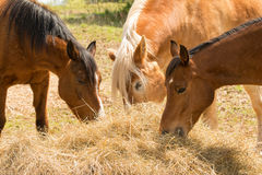 Horses eating hay Stock Image