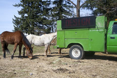 Horses eating hay from a truck. Royalty Free Stock Photography
