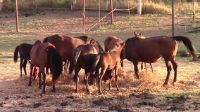Horses eating hay in warm sunset light stock video footage