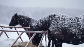 Horses eating Hay during a Winter Snowstorm stock video