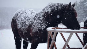 Horses eating Hay during a Winter Snowstorm stock video footage