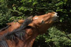 Horses eating pine. Image of horses eating pine Royalty Free Stock Photo