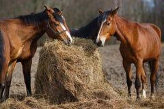 Horses eating Royalty Free Stock Photos
