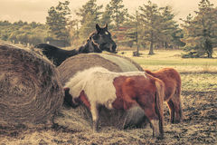 Horses eating a straw bale Royalty Free Stock Image