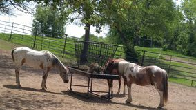 Horses eating from trough on farm Stock Photo
