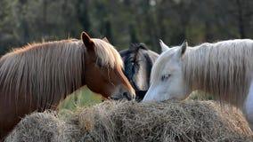 Horses eats grass. stock video footage