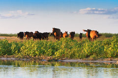 Horses on the edge of a channel of water Royalty Free Stock Photography