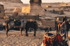 Horses of Egypt. Horses around the pyramid Stock Image