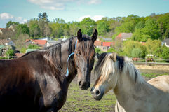 Horses embracing friendship on meadow in sunlight Royalty Free Stock Image