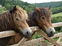 Horses in England. A farmer's horses in a field in the hills of England Royalty Free Stock Photography