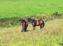 Horses enjoy grazing on the  green meadow Royalty Free Stock Photo
