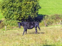 Horses enjoy grazing on the  green meadow Royalty Free Stock Image