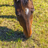 Horses enjoy grazing on the  green meadow Stock Photography