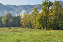 Horses (Equus caballus). Grazing here in the Great Smoky Mountains National Park, TN/NC, USA Stock Photography
