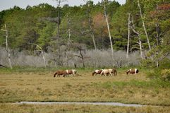 Horses (Equus caballus). Grazing here in the Great Smoky Mountains National Park, TN/NC, USA Royalty Free Stock Images
