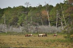 Horses (Equus caballus) Stock Image