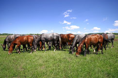 Horses erd on pasture Royalty Free Stock Photography
