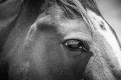 Horses eye. Royalty Free Stock Images