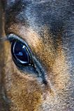 Horses Eye with reflection. A horses eye with light reflection and a two colored facial hair toning royalty free stock images