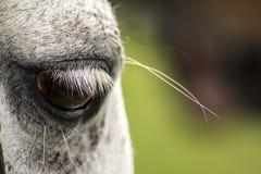 Horses Eyelashes 1 Stock Photography