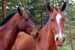 Horses Faces Royalty Free Stock Photo