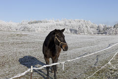 Horses in fairytale snowy winter countryside with blue Sky in Bohemia, Czech Republic Stock Image