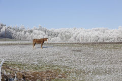 Horses in fairytale snowy winter countryside with blue Sky in Bohemia, Czech Republic Royalty Free Stock Photography