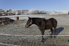 Horses in fairytale snowy winter countryside with blue Sky in Bohemia, Czech Republic Royalty Free Stock Images