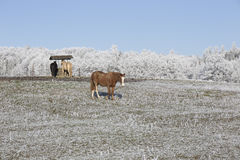 Horses in fairytale snowy winter countryside with blue Sky in Bohemia, Czech Republic Royalty Free Stock Image