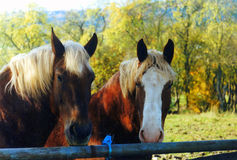 Horses in the fall. Two big strong horses behind the fence in the fall Stock Photo