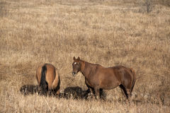 Horses in fall pasture Royalty Free Stock Images