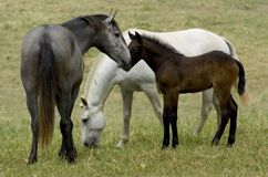 Horses familly Royalty Free Stock Image