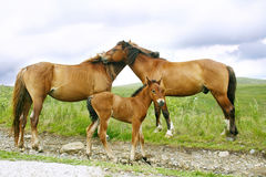 Horses Family Royalty Free Stock Photography