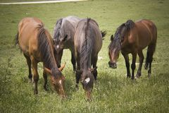 Horses family Stock Image