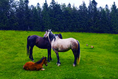 Horses. A family of horses near a forest Stock Photography