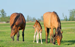 Horses family in spring time. Horses family in a meadow in spring time Stock Photo