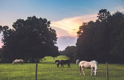 Horses In A Farm royalty free stock images