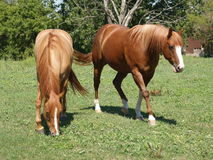 Horses on a Farm. Two horses grazing on a farm Stock Image