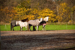 Horses on a farm Royalty Free Stock Photo