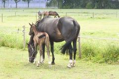 Horses on a farm. Horses in a meadow at a farm Royalty Free Stock Photos