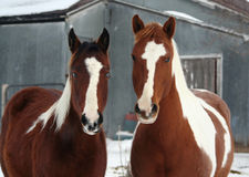Horses on the Farm. Paint Horses Looking at Camera royalty free stock photo