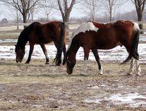 Horses On Farm. Pinto and brown horse on farm winter stock photo