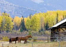 Horses on farm. Horses stand near fence and barn in Autumn royalty free stock images