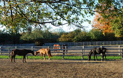 Horses in a farm Royalty Free Stock Photos