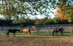 Horses in a farm. Horses standing near fence on a farm. Fall season in Ontario, Canada Royalty Free Stock Photos