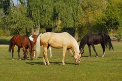 Horses on a farm in the autumn meadow Royalty Free Stock Photo