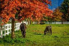 Horses on a farm in British Columbia, Canada Royalty Free Stock Images