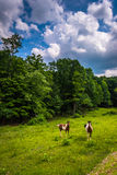 Horses in a farm field in the rural Potomac Highlands of West Vi stock images