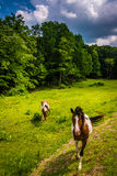 Horses in a farm field in the rural Potomac Highlands of West Vi Royalty Free Stock Photos